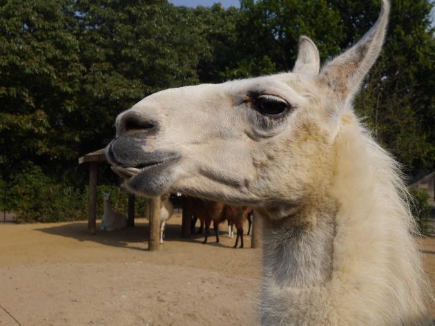 Llamas at ZSL