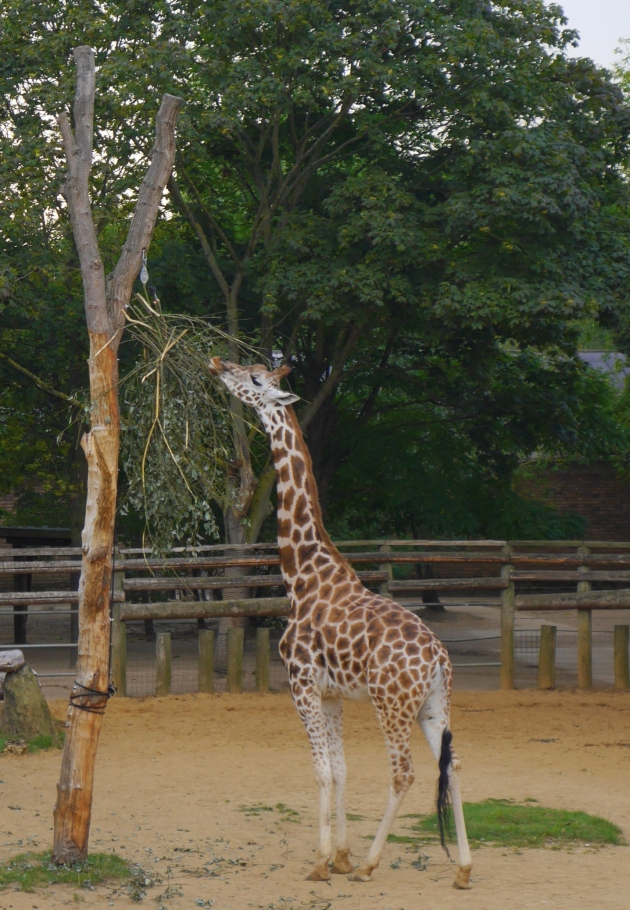 Giraffe at ZSL