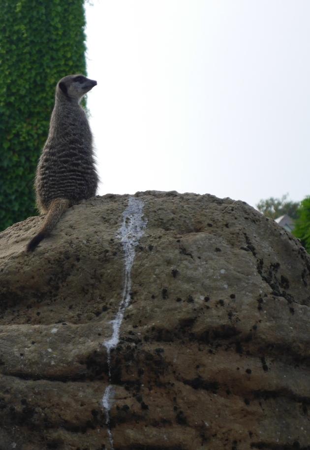 Meerkat atop rock
