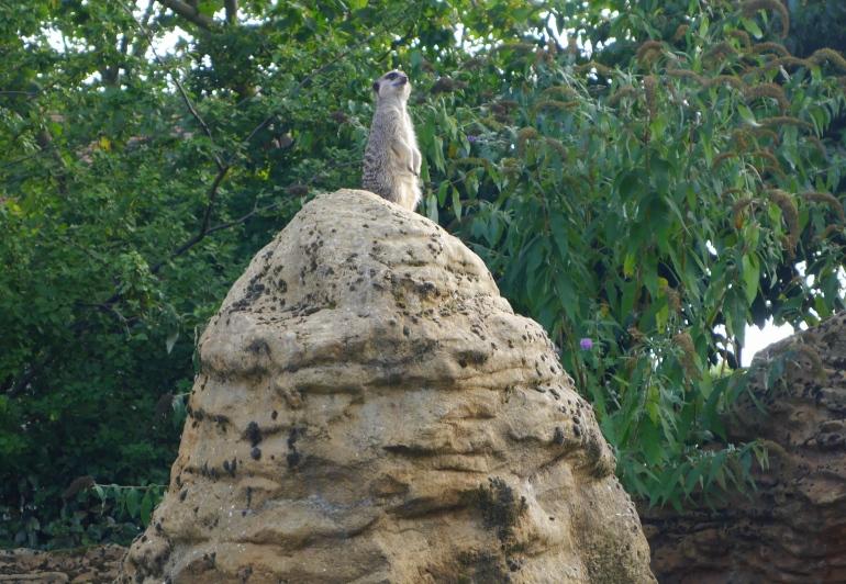 Perky Meerkat