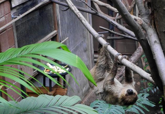 Sloth at ZSL