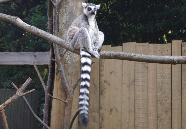 Ringtailed Lemur london zoo