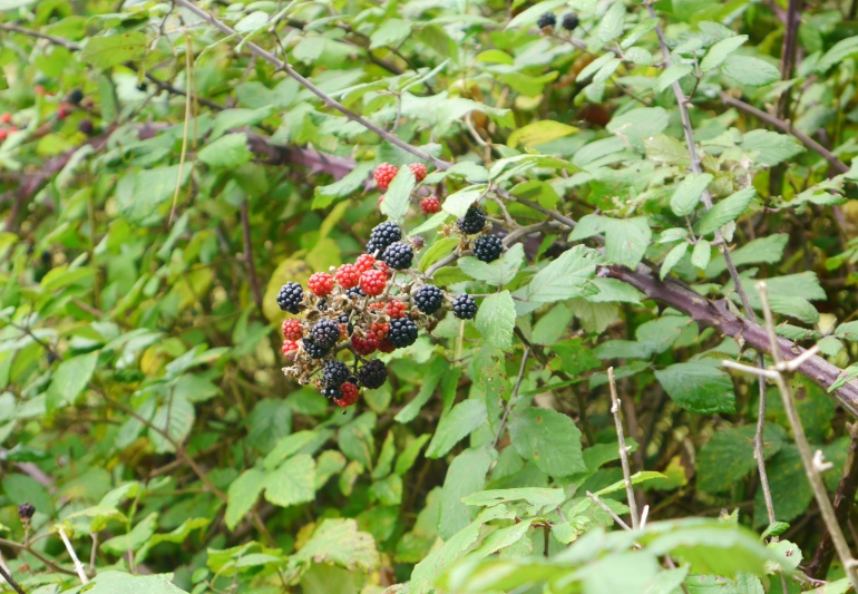 Blackberries at Holkham