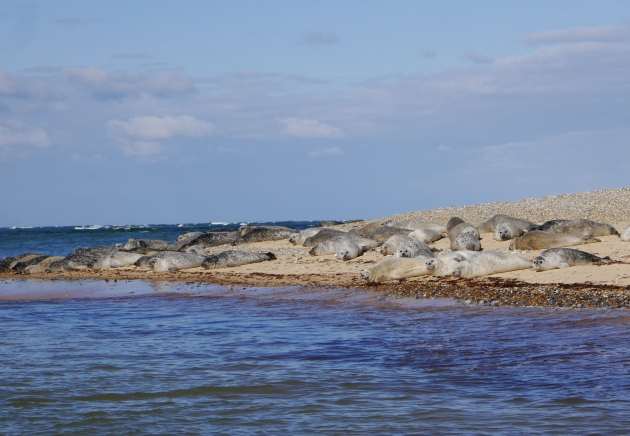 Seals on Blakeney Point