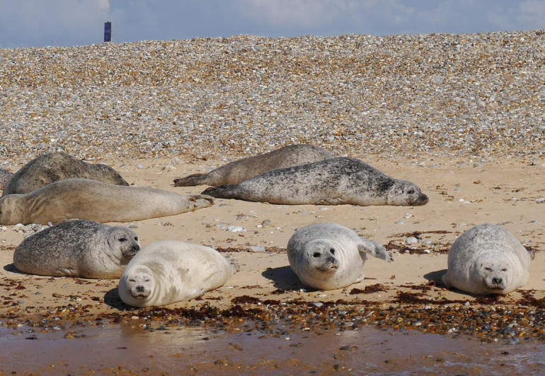 Common Seals on Blakeney Point
