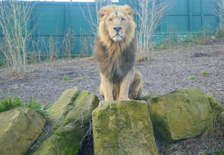 Lion at Dublin Zoo