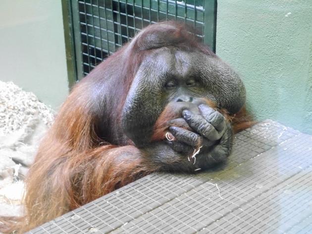 Orangutan at Dublin Zoo