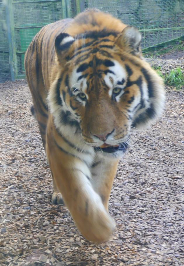 Tiger at Dublin Zoo