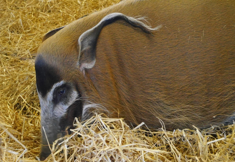 Hog at Dublin Zoo